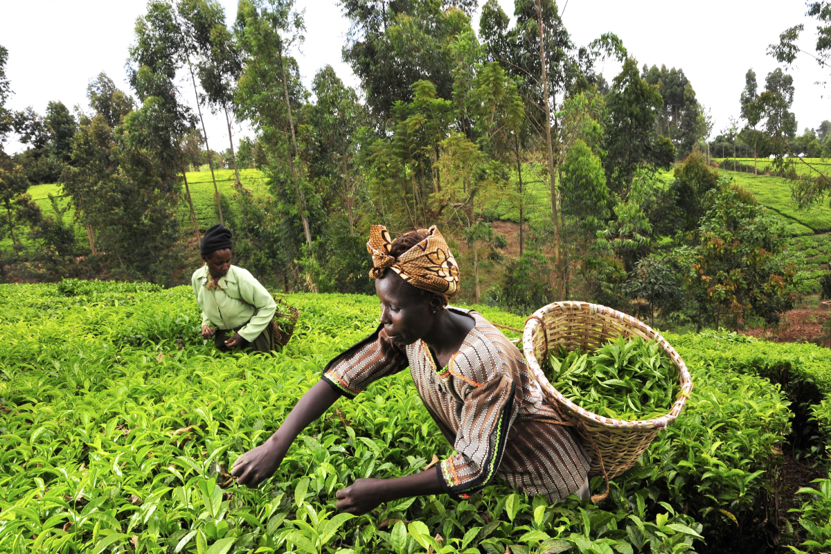 With Improved Farming Skills  …